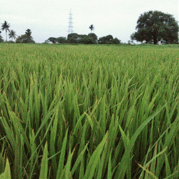 nature fields grass india trees