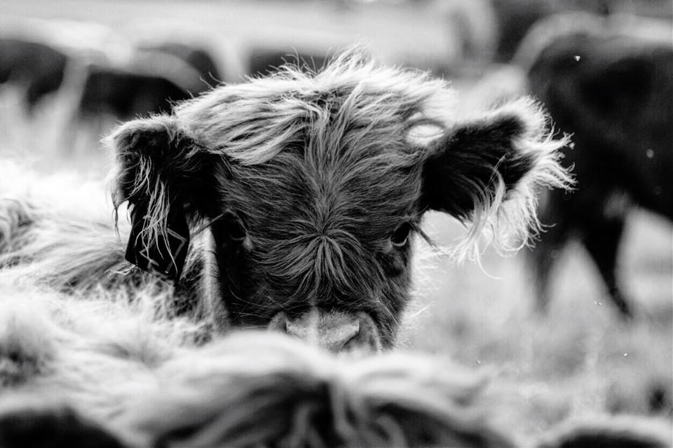Probably my favorite shot I've taken. Adorable baby cow ~ #blackandwhite #black&white #balanced #balance #composition #selectivefocus #wanderluster #wanderlusting #wanderlust #adventure #adventurer #beautiful #cute #connection #connecttonature #nature