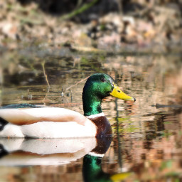 colorful nature animal duck photography