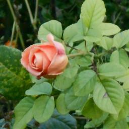 autumn flower rose roseflower green
